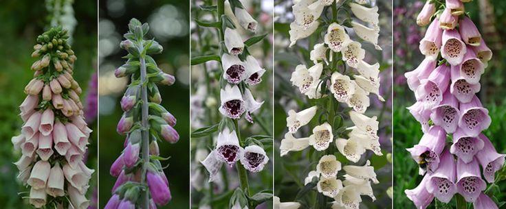 Groenjournalist Laurence Machiels houdt van alle planten, maar van sommige toch net dat tikje meer. Speciaal voor Tuinadvies.be verklapt ze welke haar lievelingsplanten zijn, recht uit haar tuin.