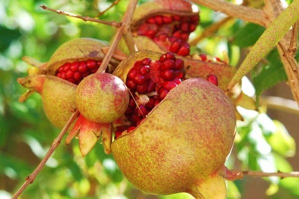Pomegranate Tree Algarve Portugal