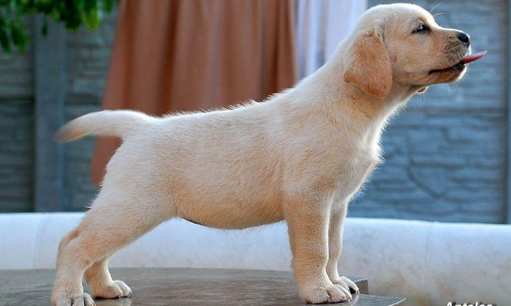 белый лабрадор щенок - Поиск в Google