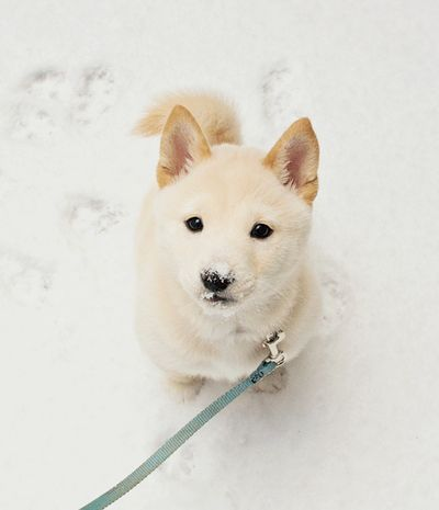 Puppy / looks like a cream Shiba Inu ... So cute