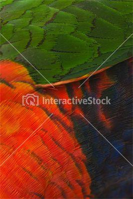 Larysa górska #papuga #pióra #kolory #tęcza #zwierzęta #ptaki