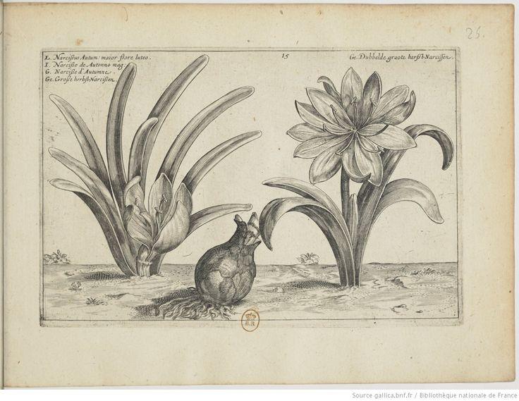 [Colchique] d'automne; Hortus Floridus : in quo rariorum & minus vulgarium Florum icones ad vivam veramque formam / Crisp: Passei junioris, 1614