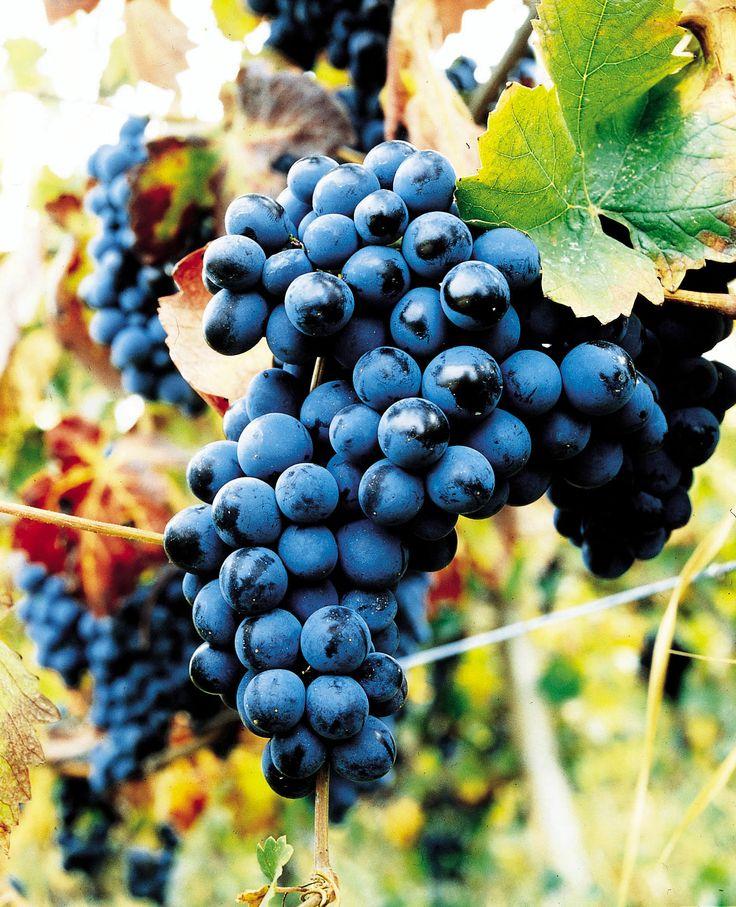 Bunch of Pinot Noir, Cantina Conte Vistarino. Italy