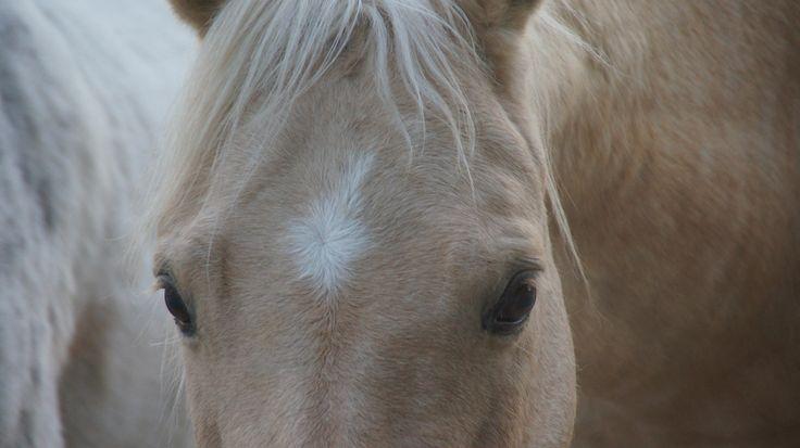 Palomino eyes #palomino #best #quarterhorse #reining #futuritychampion #mandymccutcheon #timmcquay #finland #canada #us