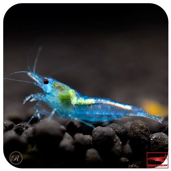 139 best freshwater shrimp tank images on pinterest fish for Shrimp fish tank