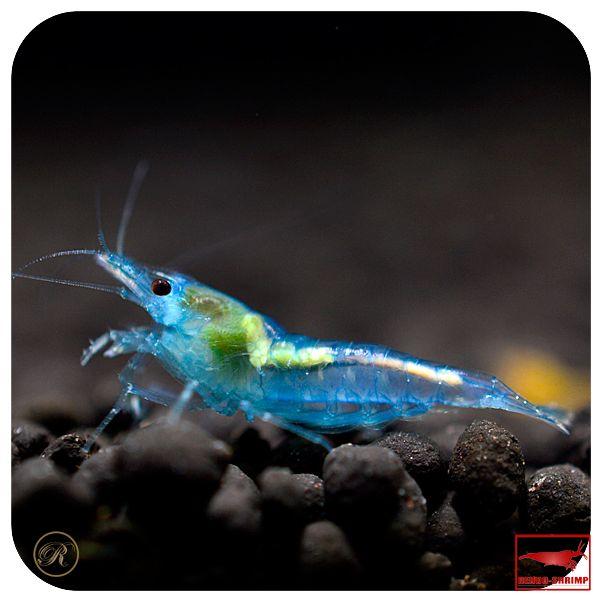 120 besten freshwater inverts bilder auf pinterest. Black Bedroom Furniture Sets. Home Design Ideas