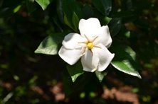 Gardenia august 'Chinese Single' in the Asian Valley at Lewis Ginter Botanical Garden.