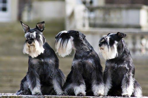 Karmy weterynaryjne Purina Veterinary Diets dla psów