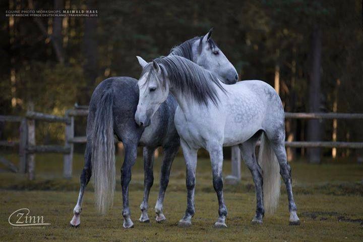 (94) Spanische Pferde Deutschland in Traventhal UG - Photos
