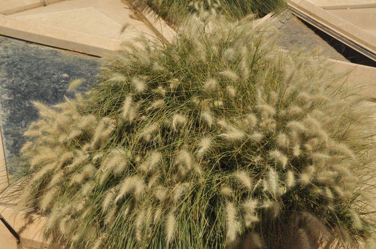 Pennisetum setaceum, KADF Conference Center Mega Roof, Riyadh | Vertical Garden Patrick Blanc