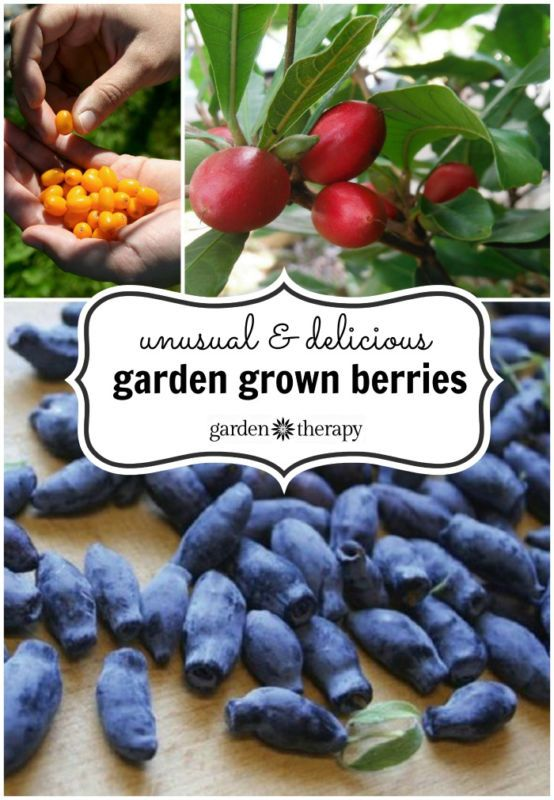 I have to try some of these! Seaberry, goumi berry, honeyberry, miracle fruit and pink blueberry! This is a great list of unusual fruit to grow. #spon #gardening