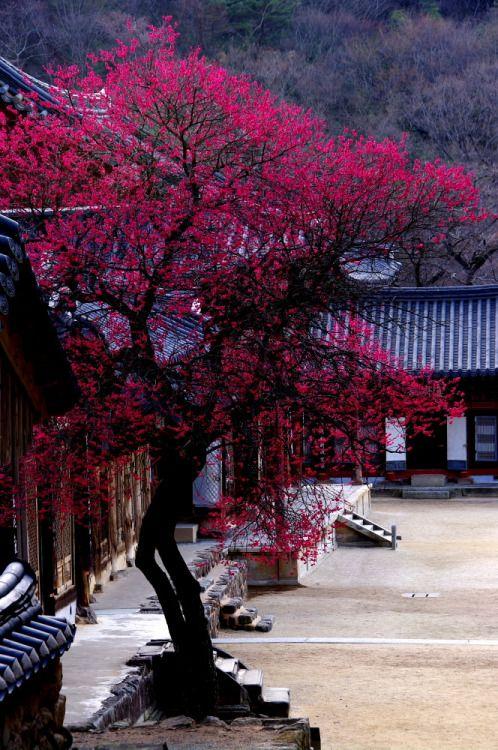 Plum blossoms, Hwaeomsa