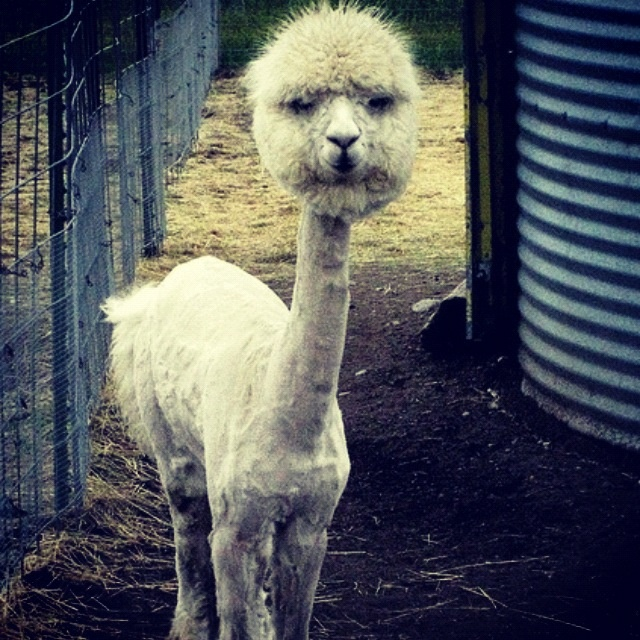 Best Funny Alpacas Images On Pinterest Alpacas Alpaca Funny - 22 hilarious alpaca hairstyles