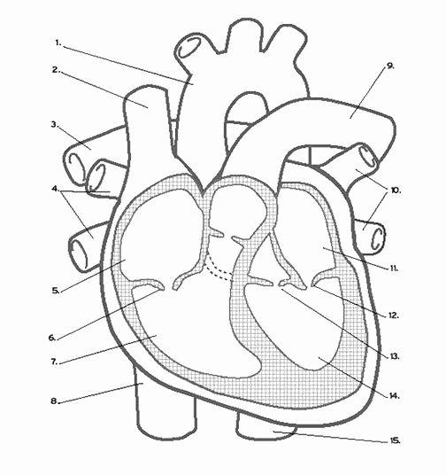 Heart Anatomy Coloring Worksheet Luxury Heart Labeling ...