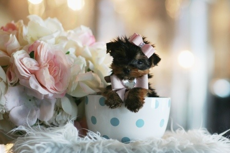 I want a teacup yorkie so bad I would love it so much and when I'm sad I will just look at my puppy and ill have huge smile on my face because of an a adorable puppy