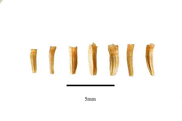 http://www.ars-grin.gov/npgs/images/sbml/Tanacetum_cinerariifolium_seeds.jpg