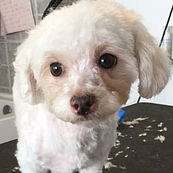 Lake Forest, California - Poodle (Miniature). Meet Lucy, a for adoption. https://www.adoptapet.com/pet/20703870-lake-forest-california-poodle-miniature-mix