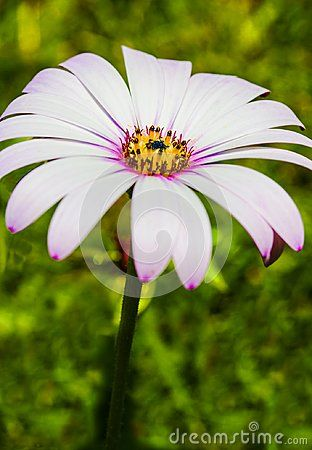 A Single White Flower With White Petals A Yellow Centre On A