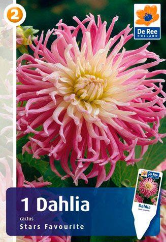 Dahlia-Stars-Favourite.jpg (327×478)