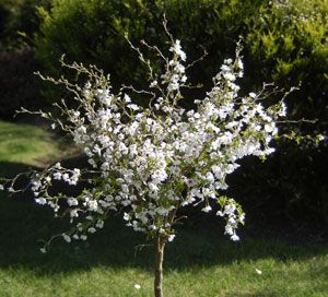 Prunus 'Kojo-no-mai': A delightful little flowering cherry with unique zig-zag branch structure.