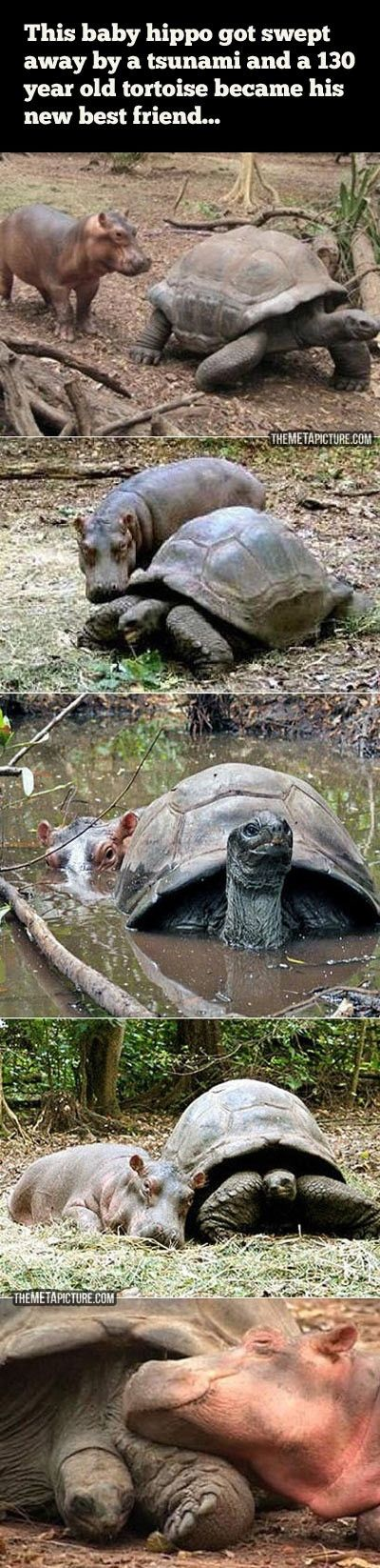 A baby hippopotamus that survived the tsunami waves on the Kenyan coast formed a strong bond with a giant male century-old tortoise in an animal facility in the port city of Mombassa