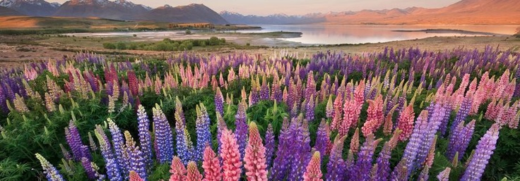 Lupins at Lake Tekapo around Christmas time, New Zealand