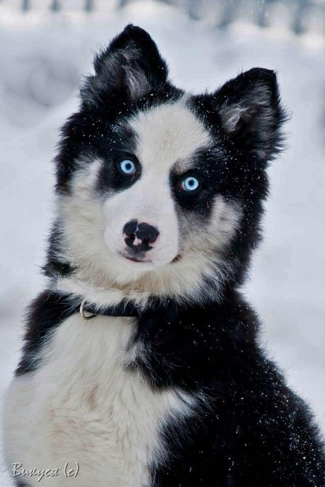 Yakutian Laika Favorite Dog Breeds Pinterest