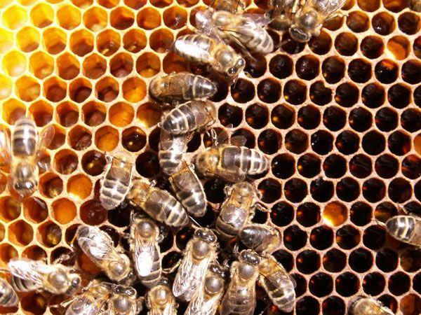 Bondades de la miel de abejas: Desde tiempos ancestrales la miel de abejas ha sido empleada con fines curativos. La certeza de ese don benéfico se ha transmitido de generación en generación y llega hasta el presente