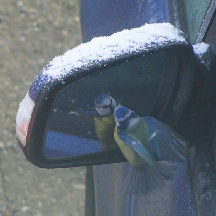 Blue tit admiring himself