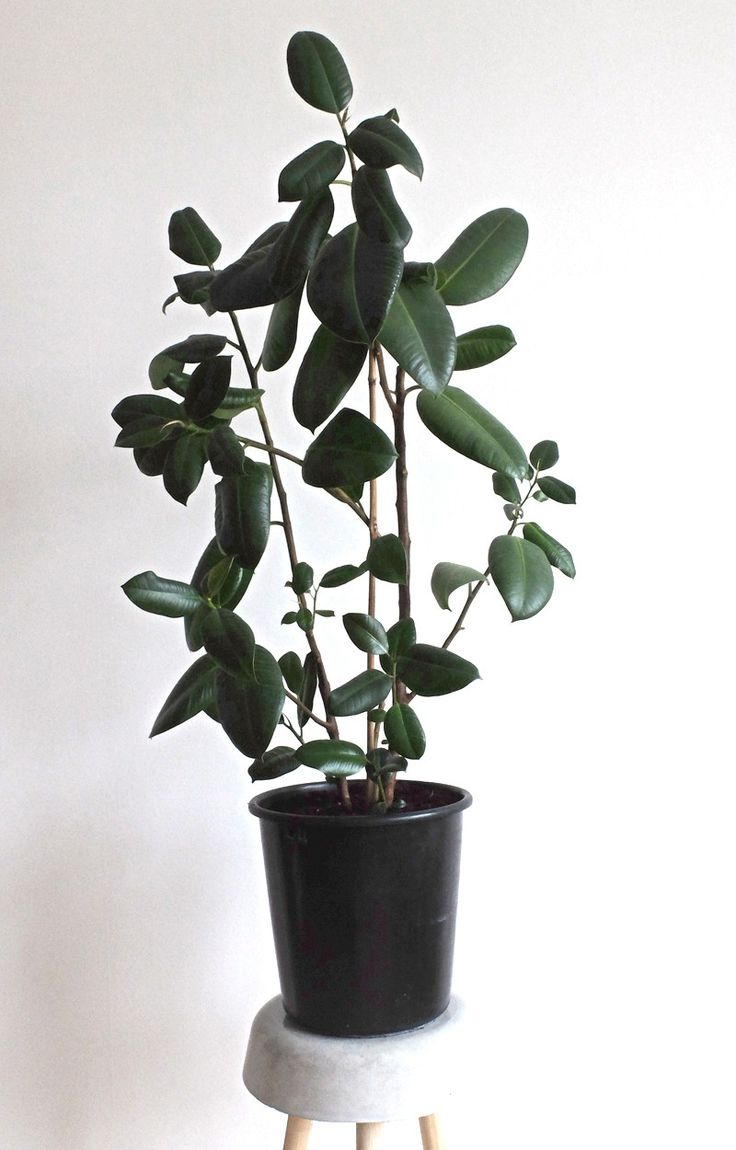Ficus Elastica - Decora via RECYCLED PLANTS. Click on the image to see more!