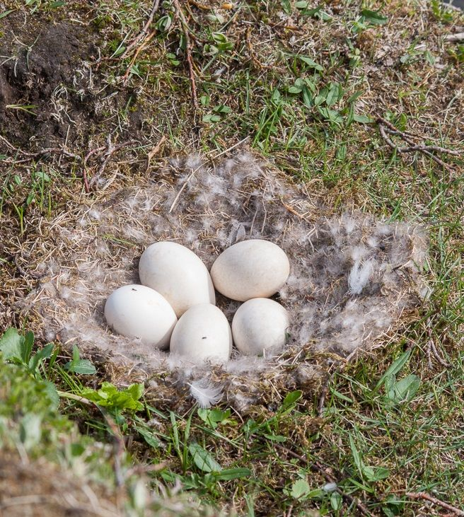 Pink Footed Goose Nest With Eggs The Goose Lays 3 To 6 Eggs In Early To Mid May In Iceland Late May In Svalbard With Incubation Lasting 26 Birds Goose Nest