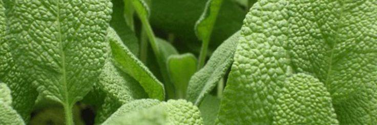 Salie is een van de grotere geneeskrachtige planten van onze planeet.De Latijnse naam - Salvia officinalis - komt van het woord salvare , wat betekent 'om op te slaan' of te behandelen.