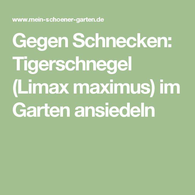 Fresh Gegen Schnecken Tigerschnegel Limax maximus im Garten ansiedeln