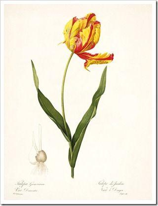 redoute_Tulipa Gesneriana