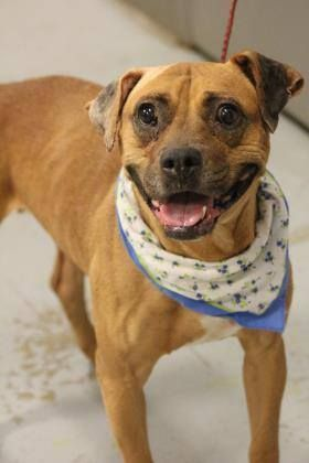 LAST EMAIL 10/28 PRESUMED DEAD>NAME: Bobbie ANIMAL ID: 33600137 BREED: boxer mix SEX: female EST. AGE: 6 yr Est Weight: 41 lbs Health: Heartworm pos, Hematoma repaired in the clinic Temperament: dog friendly, people friendly ADDITIONAL INFO: RESCUE PULL FEE: $35 Intake date: 9/28 Available: Now