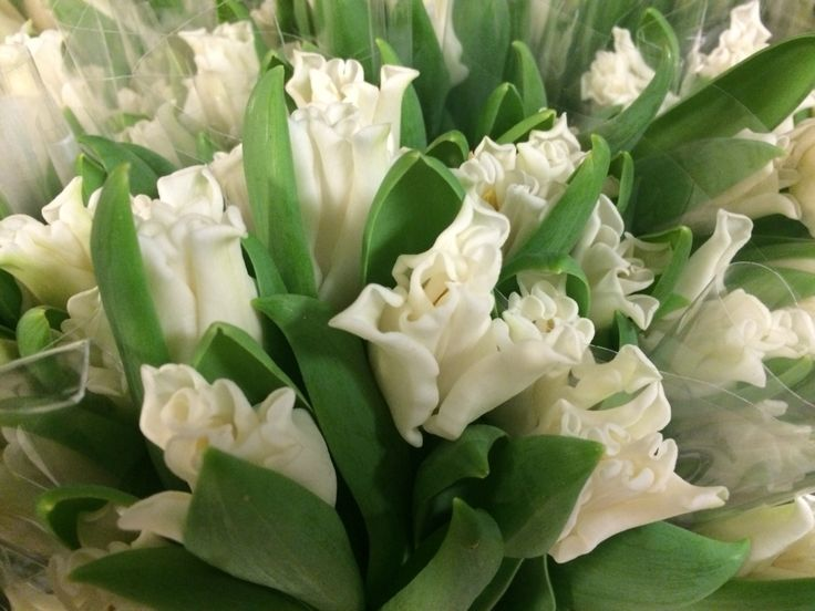 "Interiør-tulipaner ""White Liberstar"""