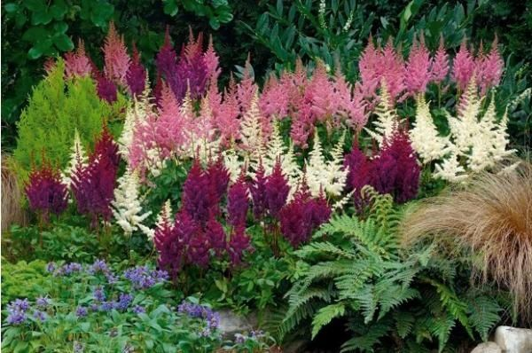 Astilbes.  Gorgeous in shade garden.  Complement with hosta, bleeding hearts, primrose, lenten roses, and other shade loving plants.