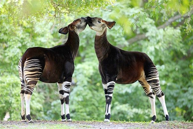 Image: Okapi may look like they're related to the zebra family, but they're actually the only living relative of the giraffe and are found i...