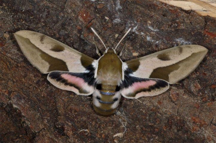 Mediterranean Hawkmoth Hyles Nicaea 8 10 Cm Europe France Moth Nicaea Hawk Moth