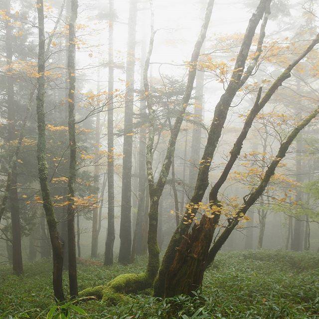 【haiirototoro】さんのInstagramをピンしています。 《〜おととしの寒露のころに 奈良県のどこかで〜 霧の西大台 10月なかごろのちょうど紅葉がみごろのころです  西大台は規制がかかってるから 手続きをしないと はいれないですけど ここは ほんの入口の区域外のところ  規制区域のもっと奥に はいれば そこらじゅうまっ黄色の きれいな黄葉をみることができるはずです  #大台ヶ原 #大台ケ原 #oodaigahara #西大台 #西大台利用調整地区 #nishioodai #森 #forest #広葉樹林 #霧 #fog #紅葉 #黄葉 #autumnleaves #fallcolors #autumncolors #fallleaves #オオイタヤメイゲツ #Acershirasawanum #Acer #maple #mapletree #秋 #autumn #奈良 #nara #japan》