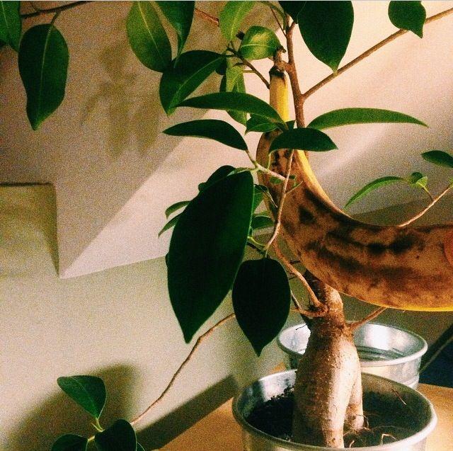 Banana plant  Home