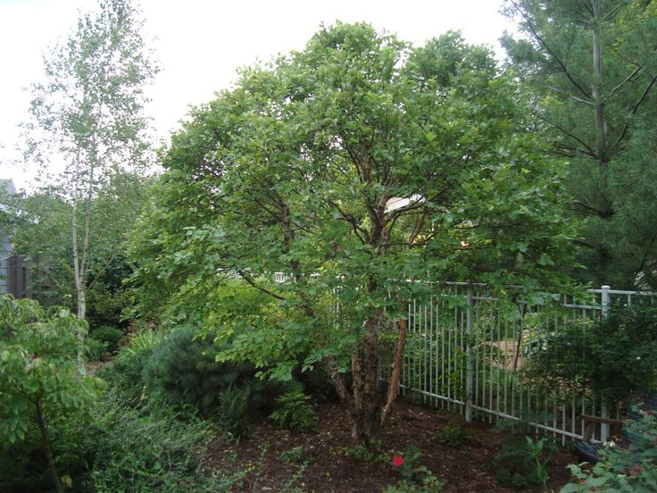 After pruning - Dwarf River Birch (Betula nigra 'Little King'), 1