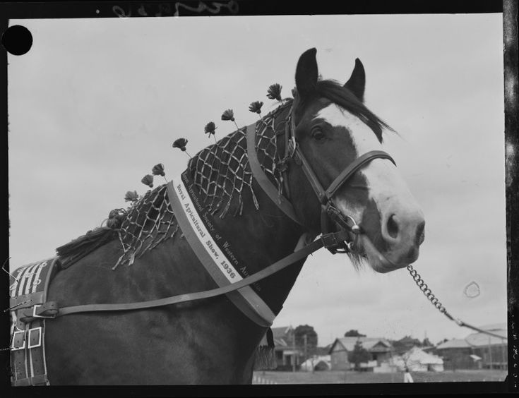 046343PD: Champion clydesdale, 1936.  http://encore.slwa.wa.gov.au/iii/encore/record/C__Rb2395616__S046343pd__Orightresult__U__X3?lang=eng&suite=def