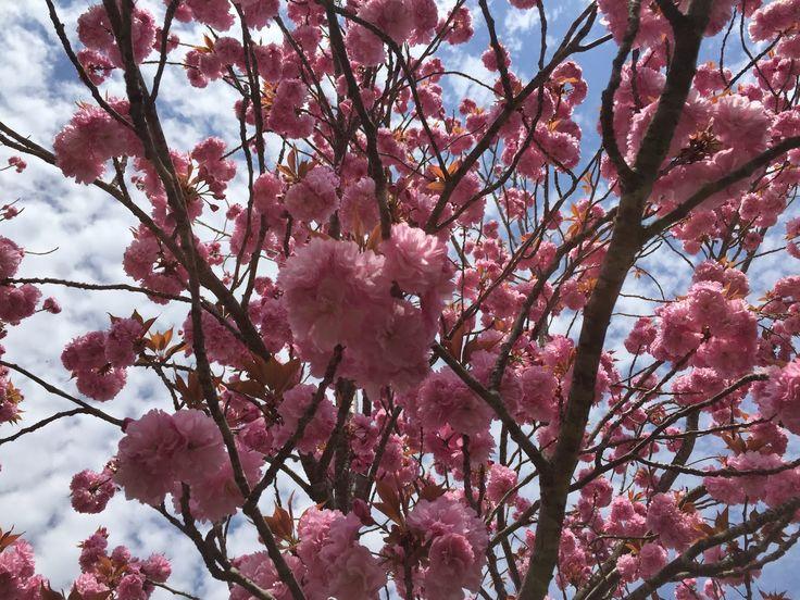 セルロースファイバーを       使用する自然素材の家: 八重桜 モクモクファームにて