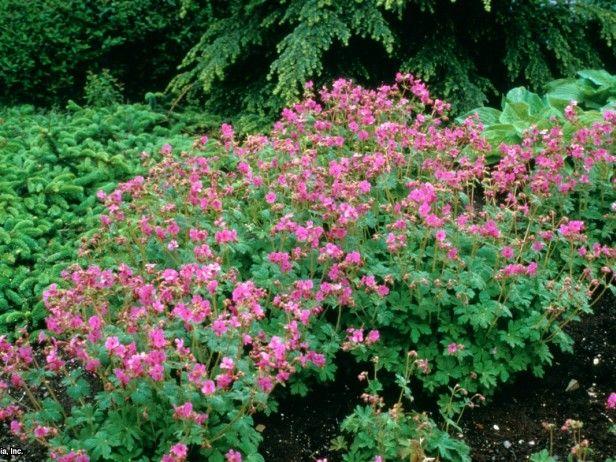 Bigroot Geranium Geranium macrorrhizum 'Bevan's Variety' : HGTV Gardens