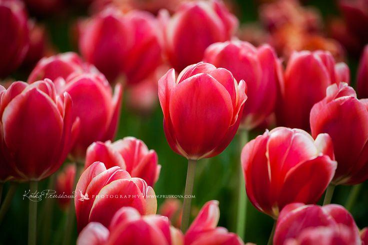 Extraordinary red tulips, Holland,  Katka Pruskova Photography   www.pruskova.com