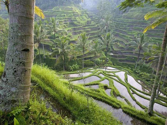 Bali (Rizières d'Ubud) -- Indonésie