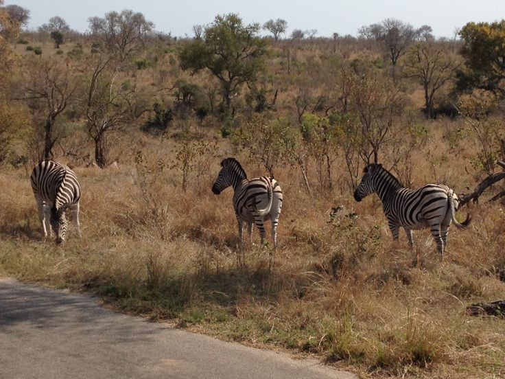 Kruger Extension 2013 - The last animals we saw - zebras (24/8/13).