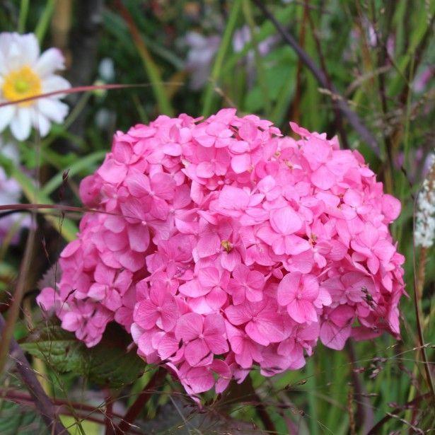 Hortensia Hydrangea Macrophylla Endless Summer Bloomstar