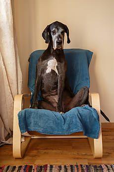 great dane dog sitting in armchair by t rex flower for stocksy rh ar pinterest com